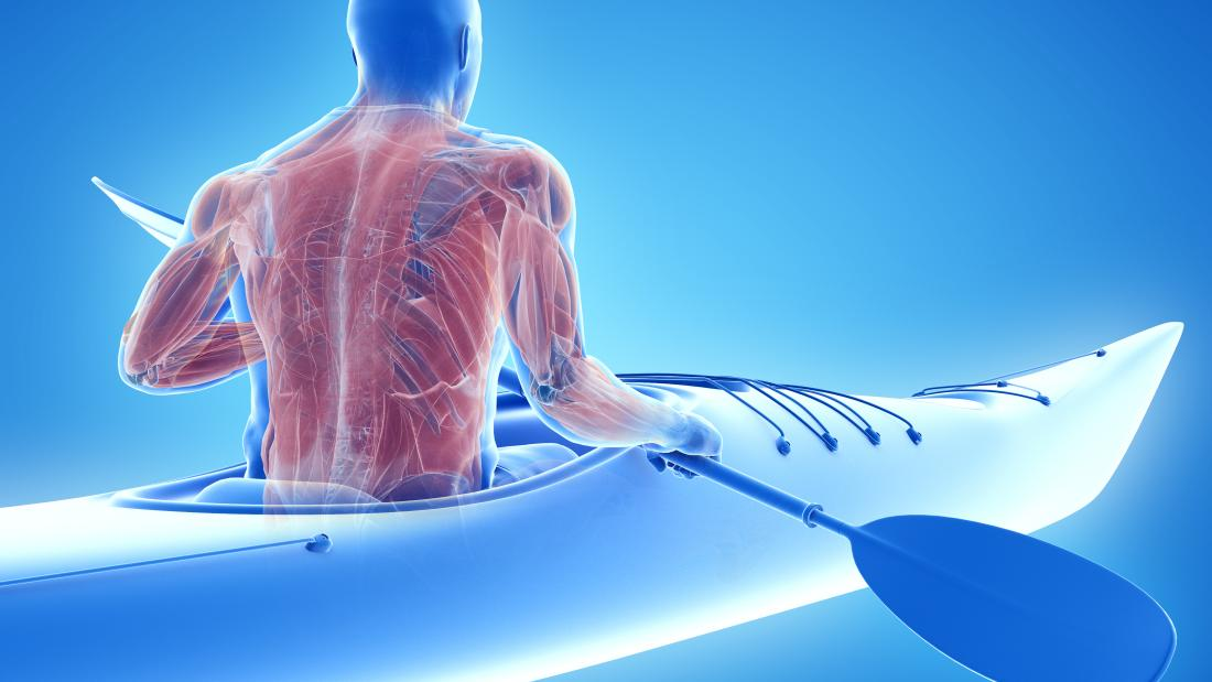 3d illustration of the muscle system of a canoeist
