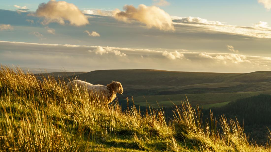 Sheep roaming the Snowdonia National Park
