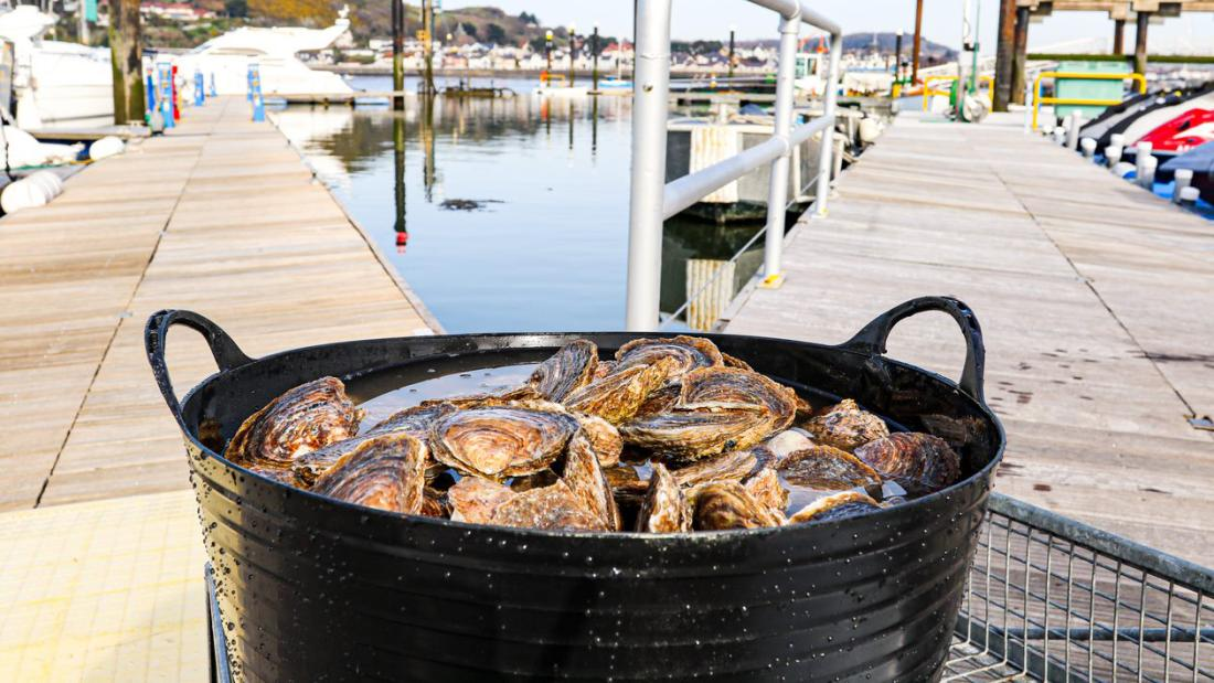 A black bucket full of oysters sits on Conwy marina pontoon
