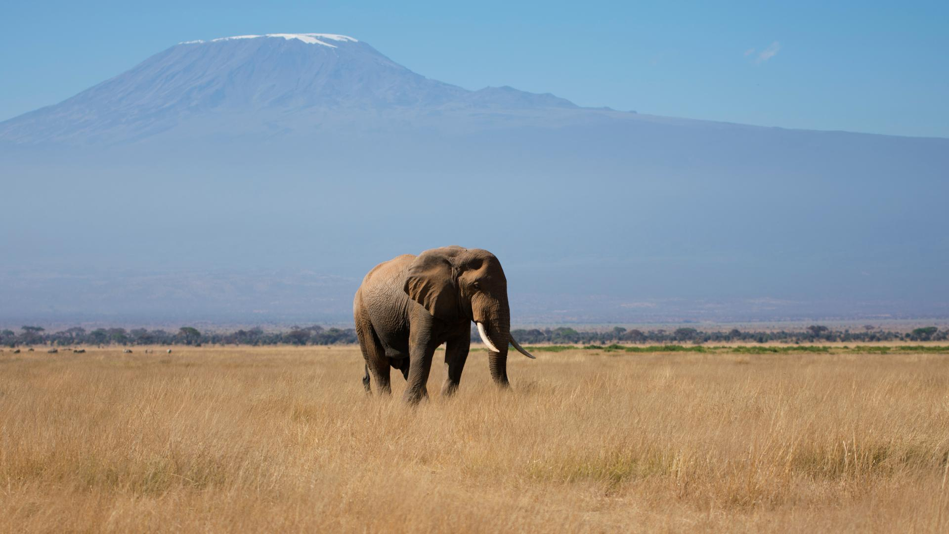 Wild elephant in a field in Africa