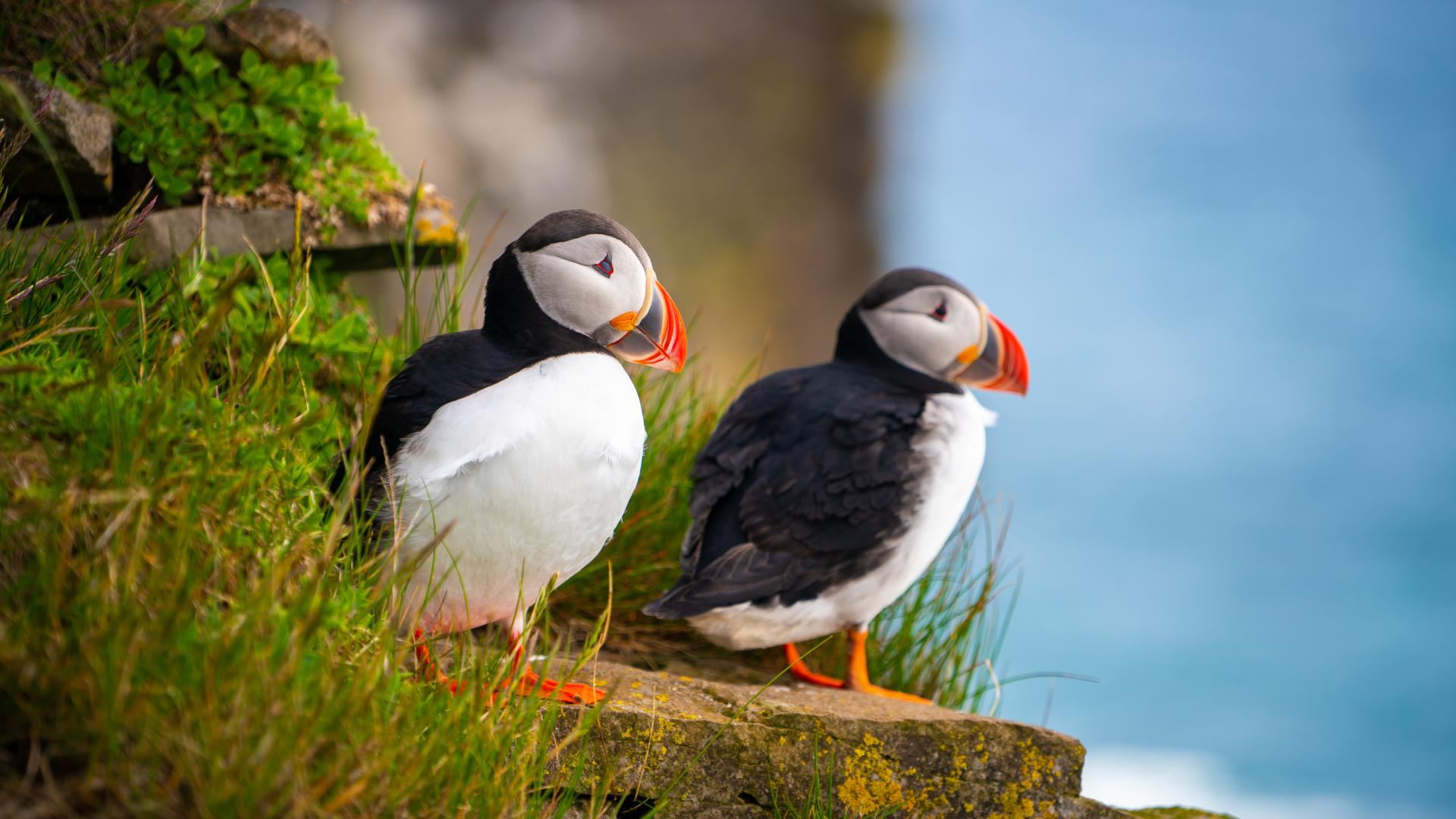 Puffins on the coast at Puffin Island