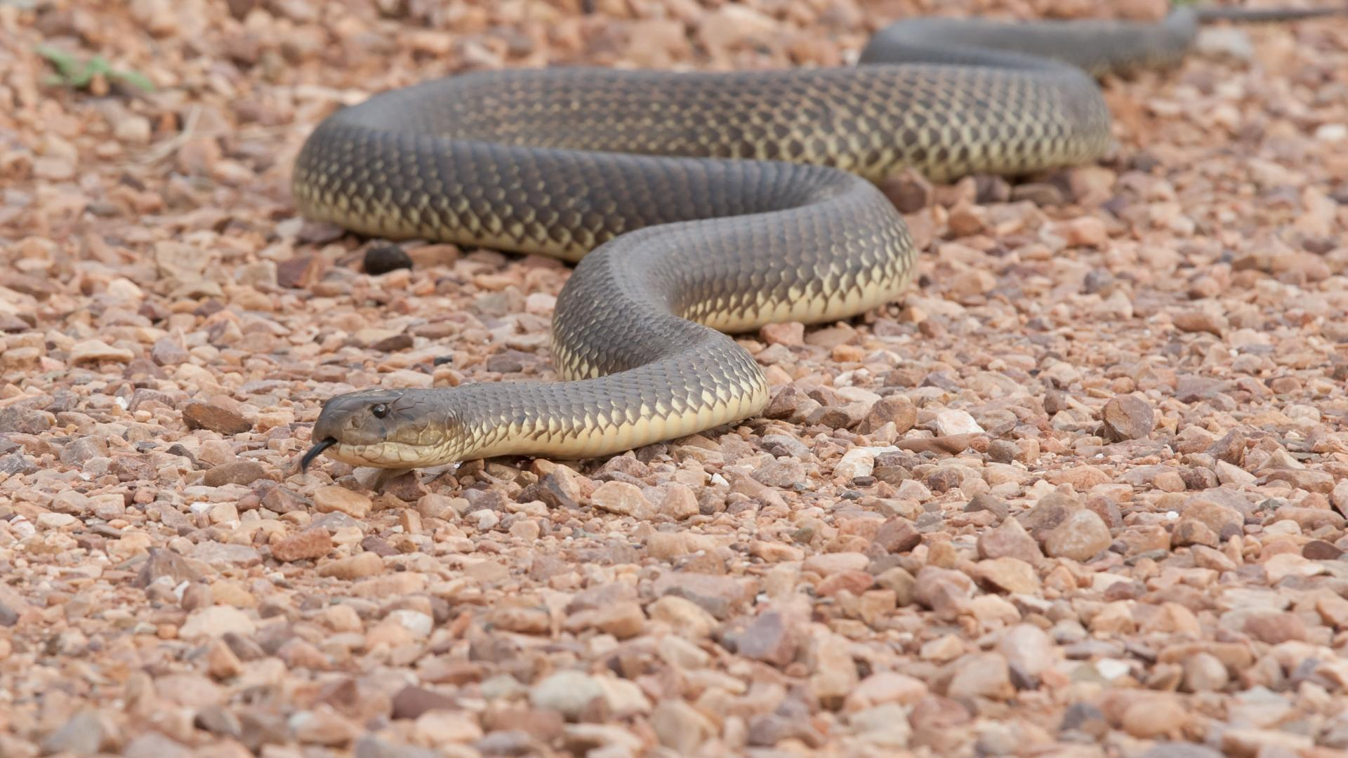 Invasive snake species on the ground