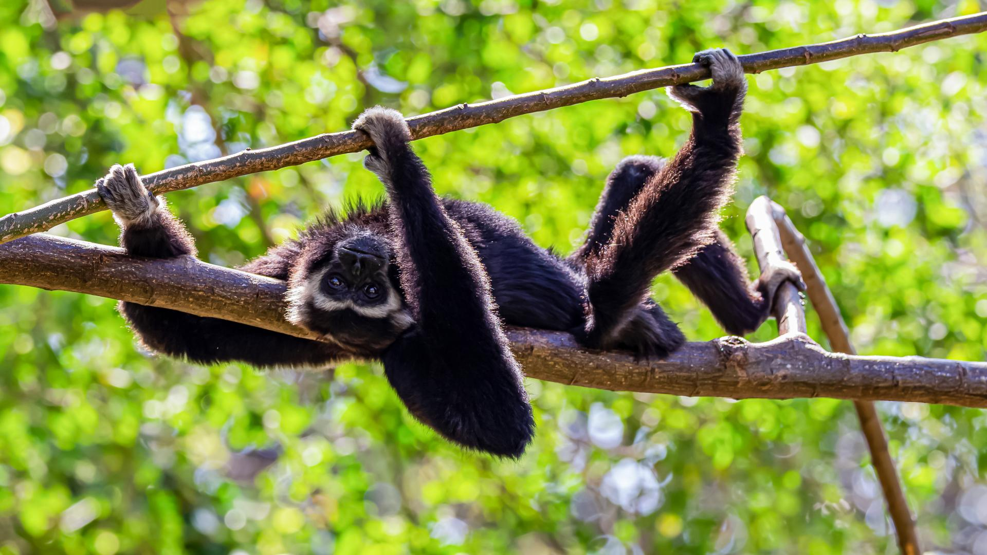 Gibbon laying on a tree