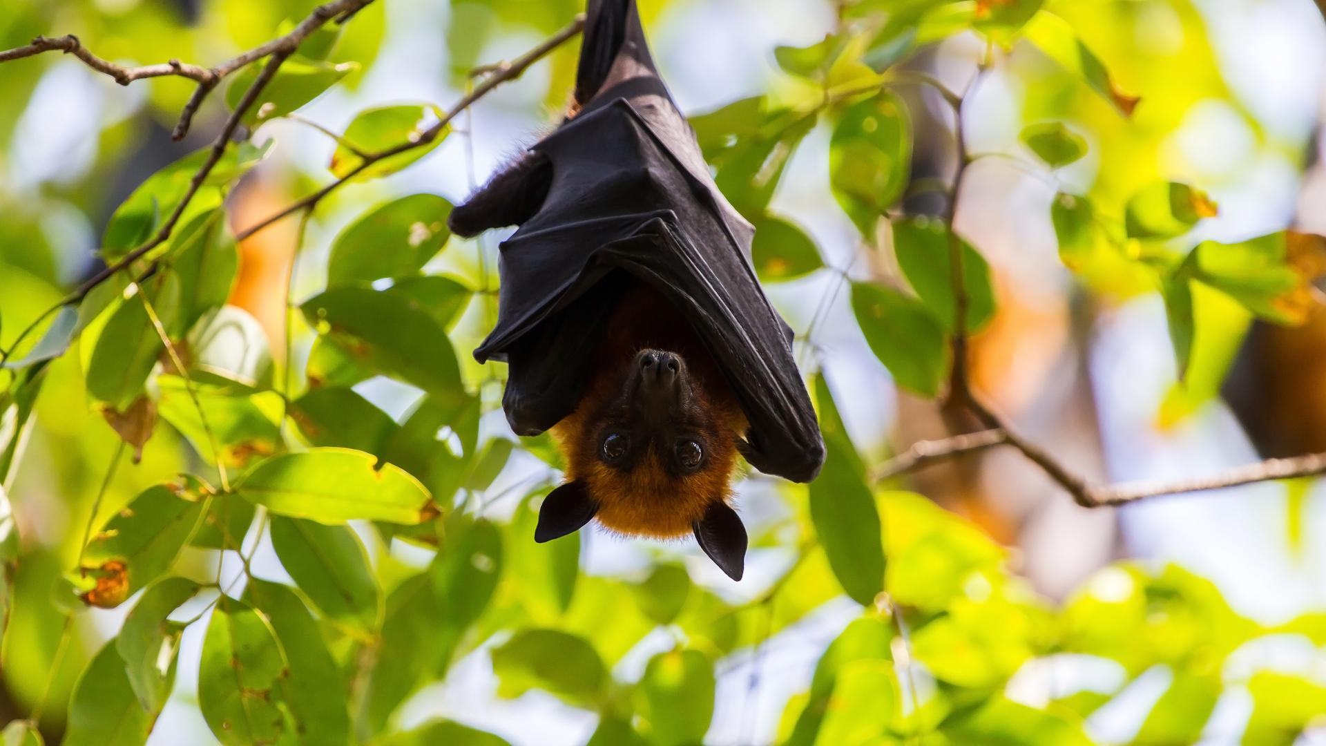 Fruit bat in hanging from a tree