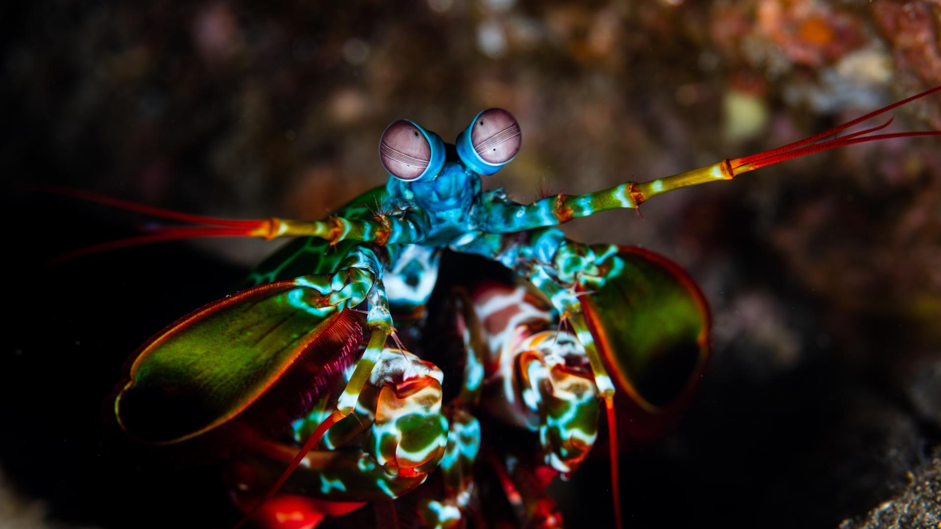 A Peacock mantis shrimp on a coral reef in Indonesia.