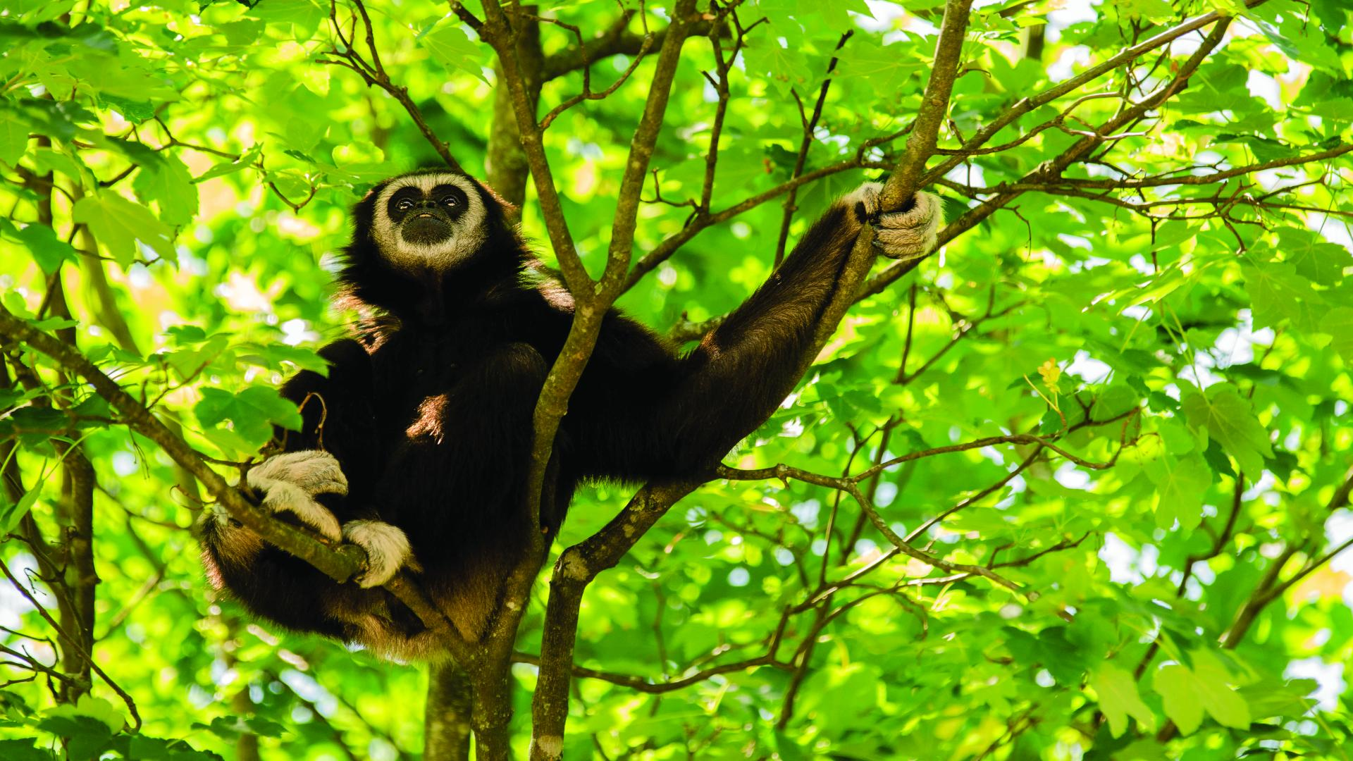 Gibbon sitting in a tree