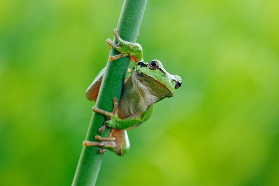 Frog holding on to tall grass.