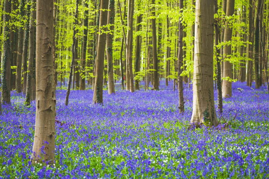 Woodland in spring with bluebells out.