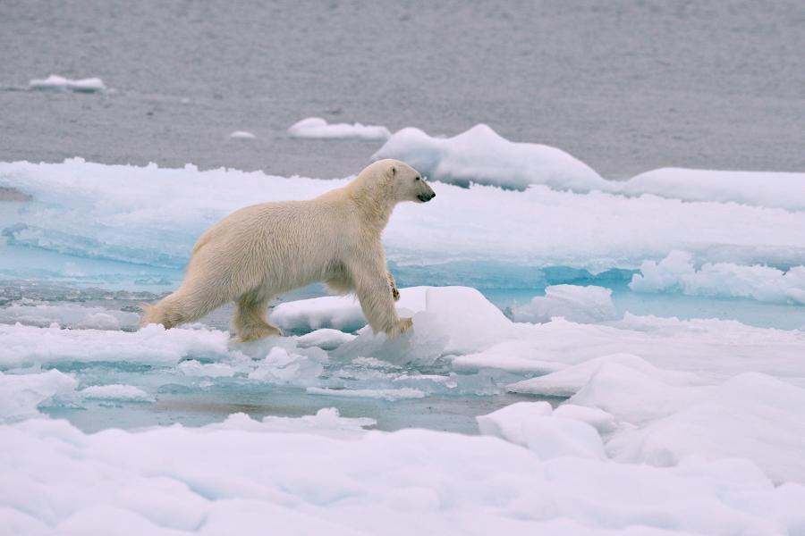 Polar bear searching for food