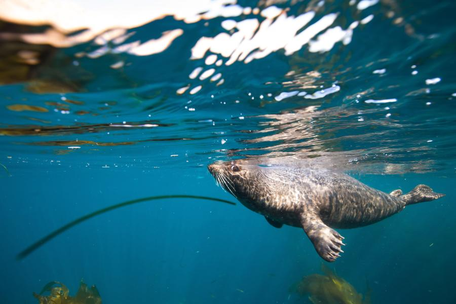 A harbor seal in the sea