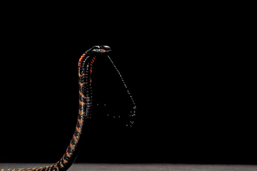 A Spitting Cobra rising up and spitting