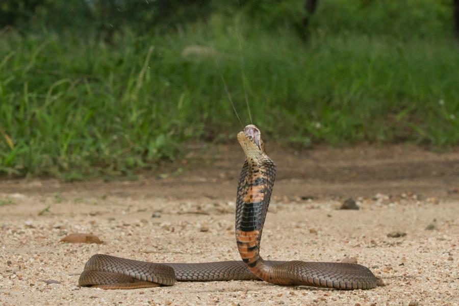 A rearing spitting cobra in the field.
