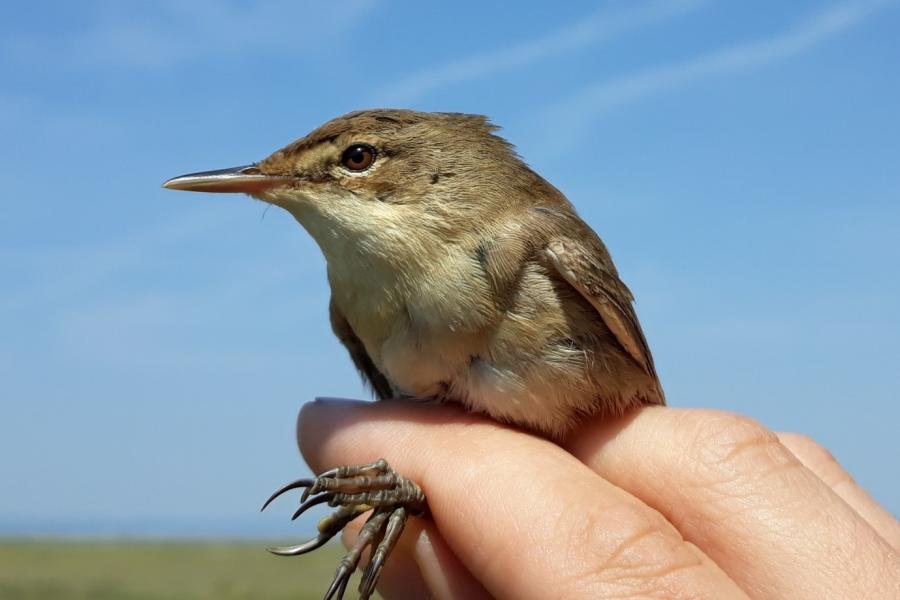 a Reed warbler in the hand.
