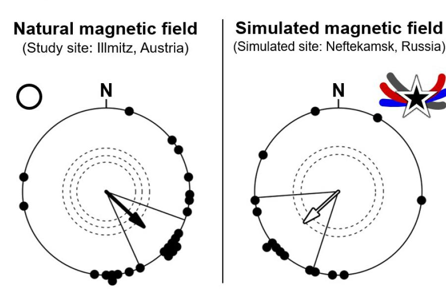 two circular diagrams showing natural and simulated magnetic fields and orientation of birds