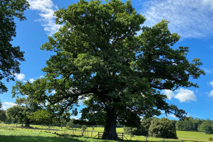 A big oak tree in leaf againts a blue sky