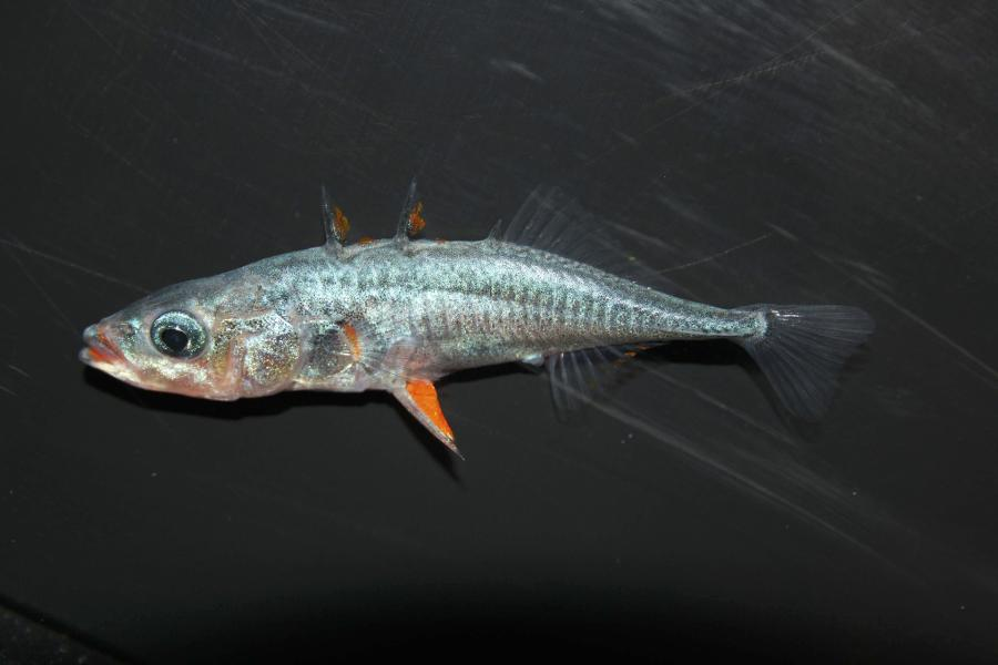 a stickleback