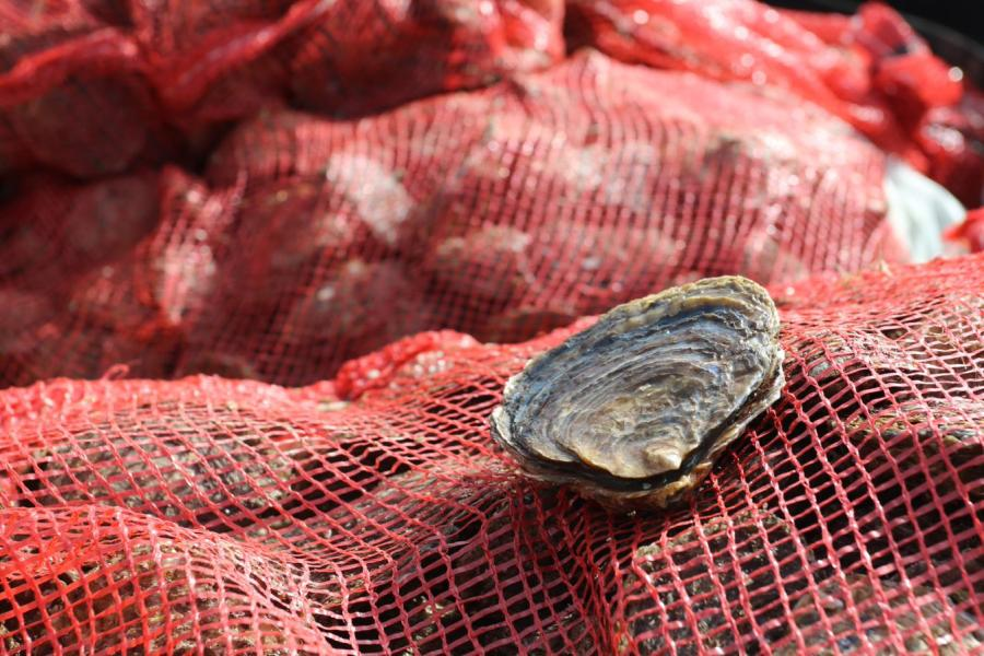An oyster sits on a  red netting sack of oysters