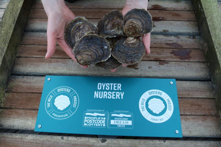 Hands hold oysters above a turquoise plaque marking the Oyster Nursery and funders