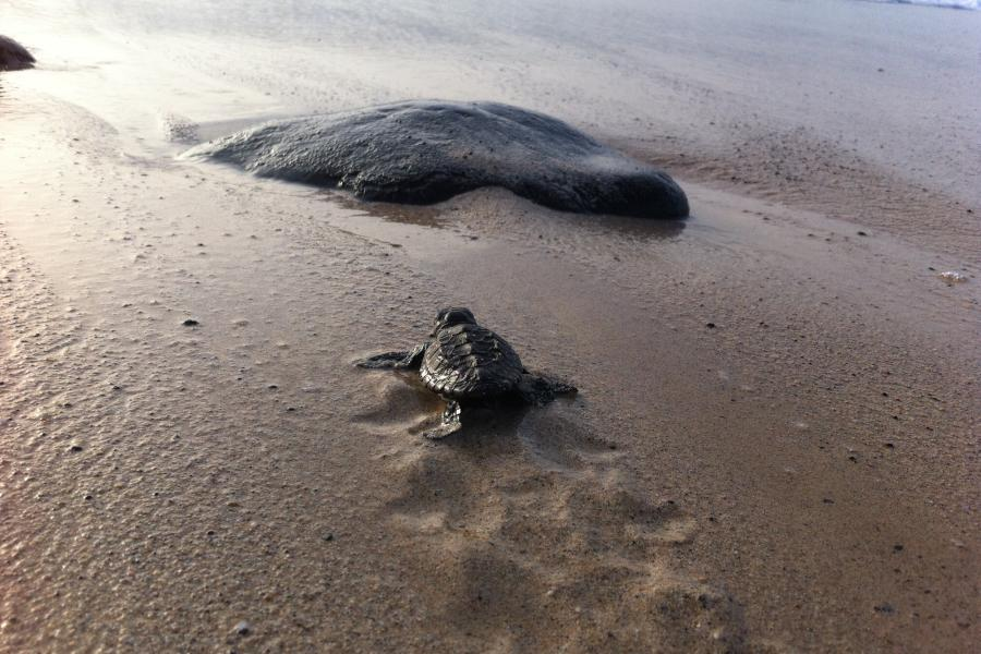 A single turtle hatchling makes its way to the sea.
